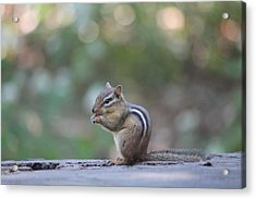 Chowing Chipmunk Acrylic Print