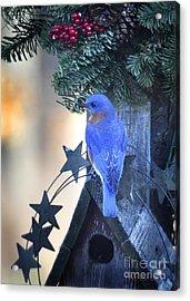 Christmas Bluebird Acrylic Print by Nava Thompson