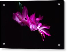 Acrylic Print featuring the photograph Christmas Cactus Blossom by Bill Swartwout