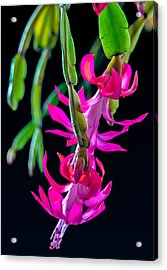 Christmas Cactus Acrylic Print by Brian Stevens