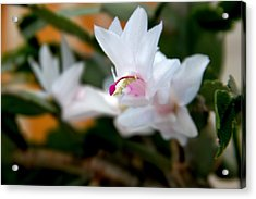 Christmas Cactus Flower Acrylic Print by Marv Russell