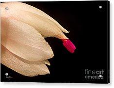 Christmas Cactus Flower Acrylic Print by Mitch Shindelbower