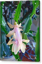 Christmas Cactus Flower Plant Acrylic Print by Charlotte Gray