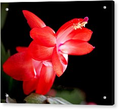 Christmas Cactus Flower Acrylic Print