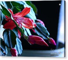 Christmas Cactus In Bloom Acrylic Print