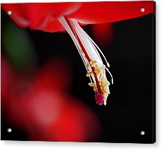 Christmas Cactus Pistil And Stamens Acrylic Print by Rona Black