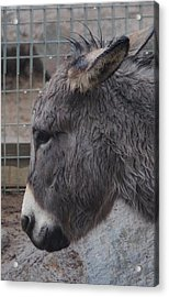 Christmas Donkey Acrylic Print