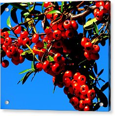 Christmas Holly In Texas Acrylic Print by David  Norman