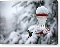 Christmas Hummingbird Acrylic Print