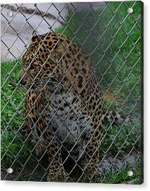 Christmas Leopard I Acrylic Print