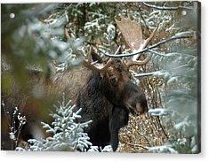 Christmas Moose Acrylic Print