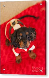 Christmas Puppy Acrylic Print by Kay Pickens