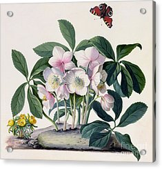 Christmas Rose Acrylic Print by Georg Dionysius Ehret