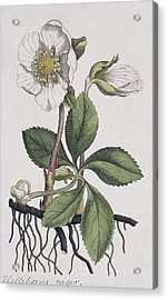 Christmas Rose, Historical Artwork Acrylic Print by Science Photo Library