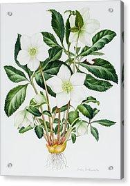 Christmas Rose Acrylic Print by Sally Crosthwaite
