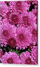 Chrysanthemum 1 Acrylic Print