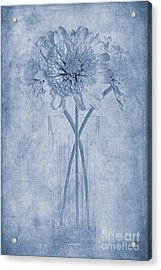 Chrysanthemum Cyanotype Acrylic Print by John Edwards