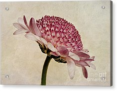 Chrysanthemum Domino Pink Acrylic Print by John Edwards