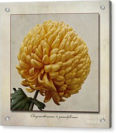 Chrysanthemum Grandiflorum Yellow Acrylic Print by John Edwards