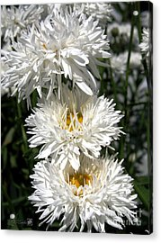 Acrylic Print featuring the photograph Chrysanthemum Named Crazy Daisy by J McCombie