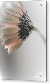 Chrysanthemum Petals 1 Acrylic Print