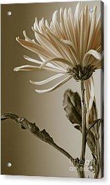Chrysanthemum Petals 2  Acrylic Print