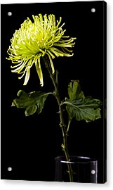 Acrylic Print featuring the photograph Chrysanthemum by Sennie Pierson