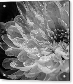 Chrysanthemum Squared Acrylic Print by Maria Robinson