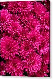 Chrysantheumums Acrylic Print