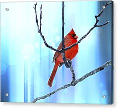Chubby Winter Redbird Acrylic Print by Bill Tiepelman