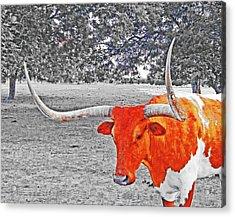 Cibolo Longhorn Acrylic Print
