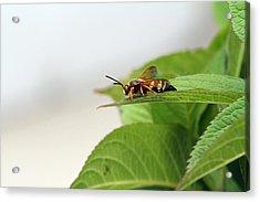 Cicada Killer Acrylic Print