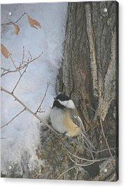 Cickadee And Bark Acrylic Print