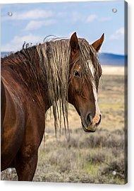 Cimarron - Wild Mustang Stallion Acrylic Print