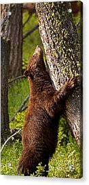 Acrylic Print featuring the photograph Cinnamon Boar Black Bear by J L Woody Wooden