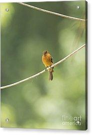 Cinnamon Flycatcher Acrylic Print