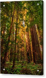 Circle Of Light - California Redwoods Acrylic Print by Dan Carmichael