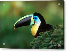 Citron-throated Toucan Acrylic Print by Art Wolfe