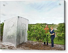 Citrus Greening Disease Treatment Acrylic Print by Marco Pitino/us Department Of Agriculture