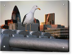 City Seagull Acrylic Print by Stephen Norris