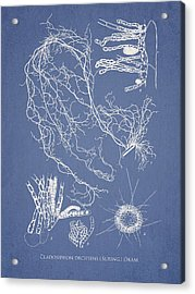 Cladosiphon Decipiens Acrylic Print by Aged Pixel
