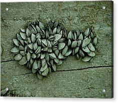 Clam Shells Acrylic Print