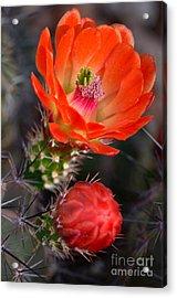 Claret Cup Cactus Acrylic Print by Deb Halloran
