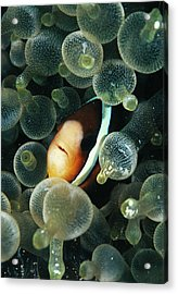 Clark's Anemonefish Acrylic Print by Matthew Oldfield/science Photo Library