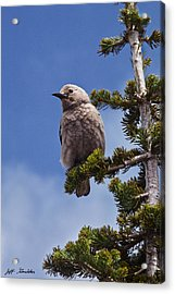Clark's Nutcracker In A Fir Tree Acrylic Print