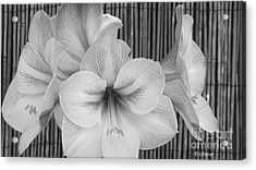 Classic Lilies Acrylic Print by Greg Patzer