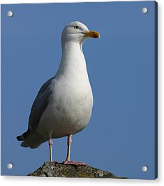 Acrylic Print featuring the photograph Classical Seagull by Karo Evans