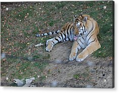 Clean Tiger Acrylic Print