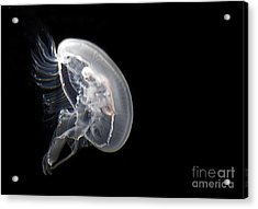 Clear Jelly Fish In Dark Water Art Prints Acrylic Print