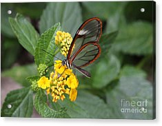Clearwing Butterfly Acrylic Print